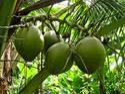 Raw Coconut In Pollachi