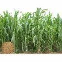 African Tall Maize Seeds