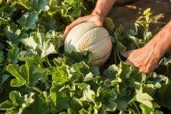 Green Natural Vegetable Seeds, Packaging Type: Packet