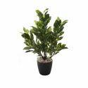 Tall Mini Quercus Plant