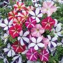 Petunia Flower Plant