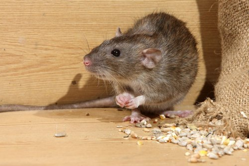 rodent control service,