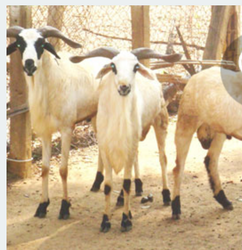 Pet Goat in Coimbatore - Latest Price & Mandi Rates from