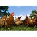 Layer Poultry Concentrates 10 %