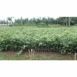 Red Chandan Plant