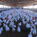 Veterinary Poultry Shed