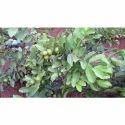 Taiwan Guava Plants