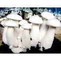 Natural Milky Mushroom Spawn, Pack Size: 1 Kg, Packaging Type: Pp Bag