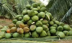 A Grade Solid Coconut, Packaging Size: 20 Kg, Coconut Size: Large