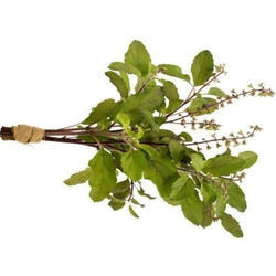 Sinhal Green Rama Tulsi - Holy Basil Leaves