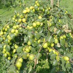 Apple Ber Plant
