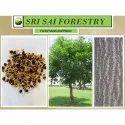 Acacia Aurifuliformis Seed