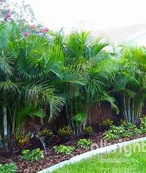 Areca Palm, For Agriculture