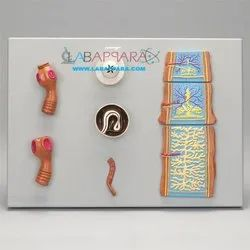 Labappara Zoology Models Made Of Fiber Glass, For Laboratory Use, Packaging Type: Box