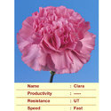 Cut Flower Caryophyllaceae Clara Carnation Plant, The Netherlands, For Decoration And Events