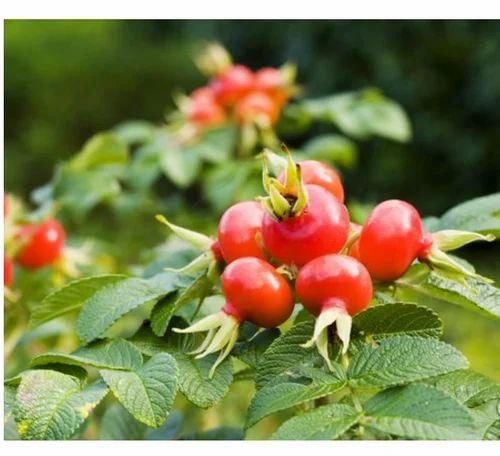 Image result for rose hip oil