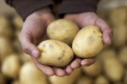 Yellow Potato, Packaging Type: Jute Bag