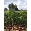 Mango Plant / Alphonso