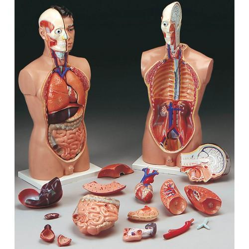 PVC Anatomical Model, Rs 100 /piece, Make New Innovations   ID ...