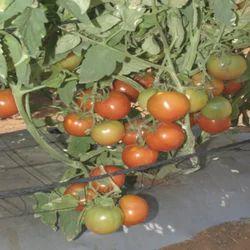 Hybrid Tomato Seeds TM- 1506