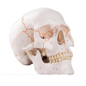 Numbered Human Classic Skull Model 3 part