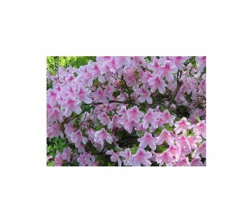 Azalea Indica