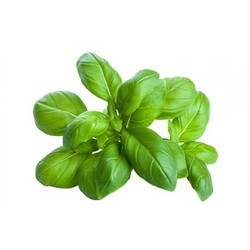 Fresh Basil for Cold Storage Rental Services