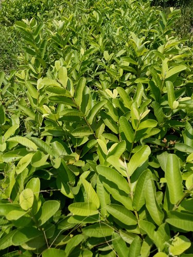 1afe5ebc1 G Vilas Guava Plant, Size: 2 Ft, Rs 40 /piece, Green World Nursery ...