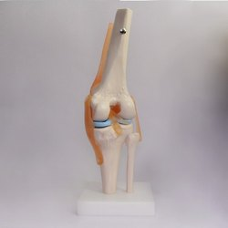 Medilab PVC Knee Joint Teaching Model, for Medical