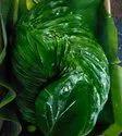 Magai Paan leaves