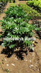 Well Watered Green Monistera Plant, For Garden