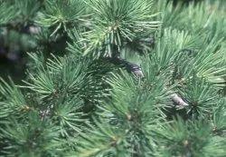 Cedar Wood VIRGINIA