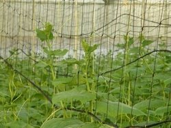 Yellow Round Plant Supporting Nets, For agriculture