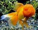 Red Oranda Gold Fish, Size: 1.5 To 2.0 Inch