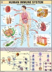 Immune System For Human Physiology Chart