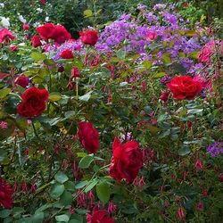 Hybrid Rose Plant