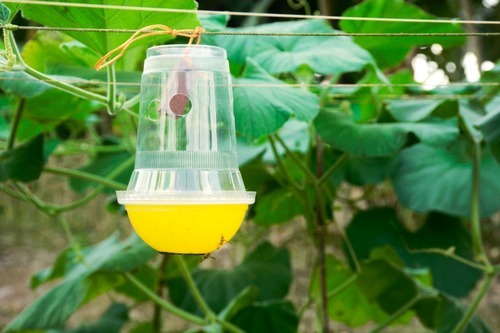 Melon Fly Pheromone Trap, Packaging Type: Individually Sachet Packet,   ID:  19128282291