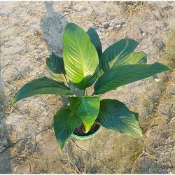 Astar Lili Plant