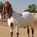 Male Jamunapari Goats