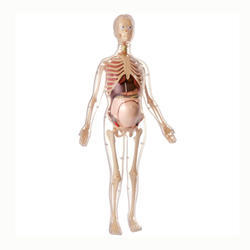 56cm (22) Visible Expectant Mother Anatomy Kit Model