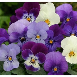 Pansy (Viola Tricolor) Extracts