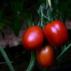 Hybrid Tomato Seeds TM - 1201