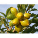 Horticultural Impex Artabotrys Hexapetalus, Pack Size: 1 Kg