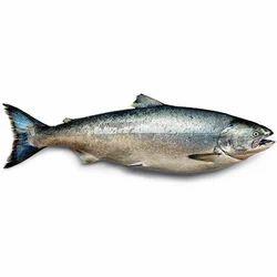 Indian Salmon Kala Kaala Meen Rawas Marine Fish