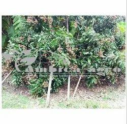 LOGAN FRUITS PLANTS