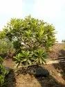 Plumaria Well Watered Chafa Plant For Garden