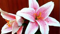 Pink Lily Flowers