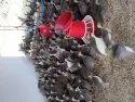 Ginne Kodi Seema Kollu Chicks