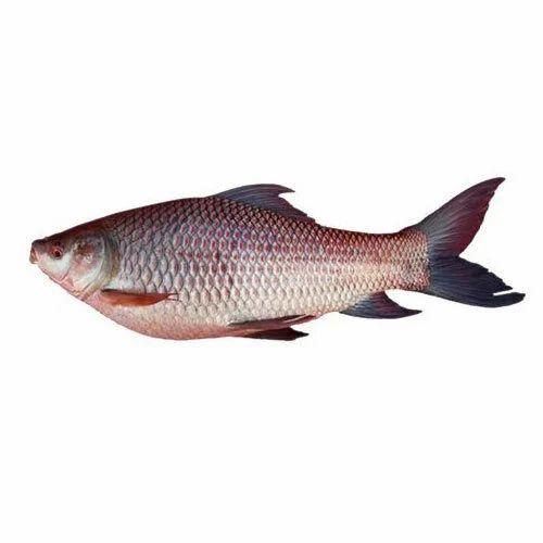 Rohu Fish, For Mess, Rs 130 /kilogram, M.N.S. Fish Center