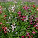 Balsam Flower Seeds